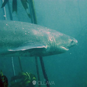 7 Gill Cow Shark Cape Town Diving